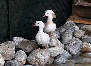 Cins ördek