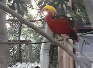 sülün kuşları