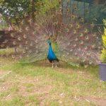 tavus kuşu akyaka