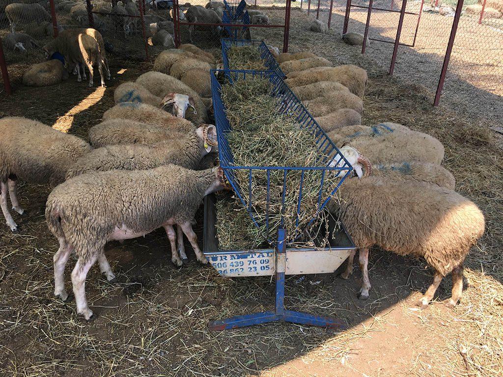 kurbanlık koyunlar