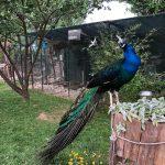 kanatlı bahçem tavus kuşu